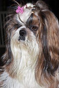 Não corte o cabelo dos cachorros