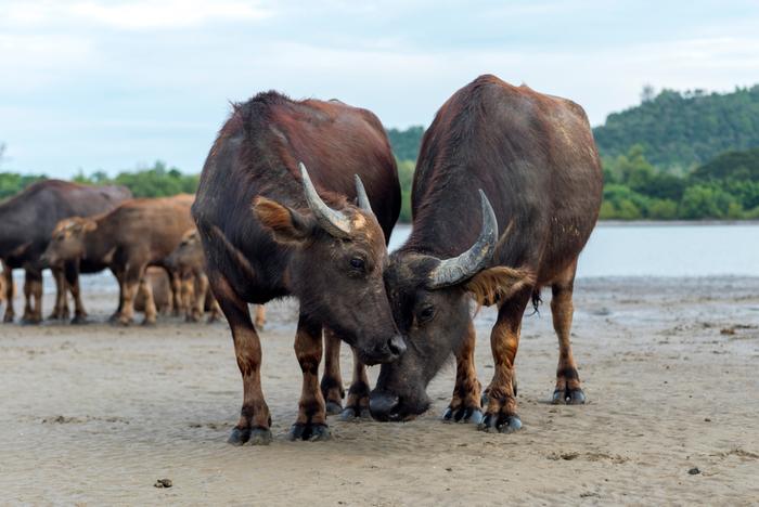 Búfalo indiano selvagem