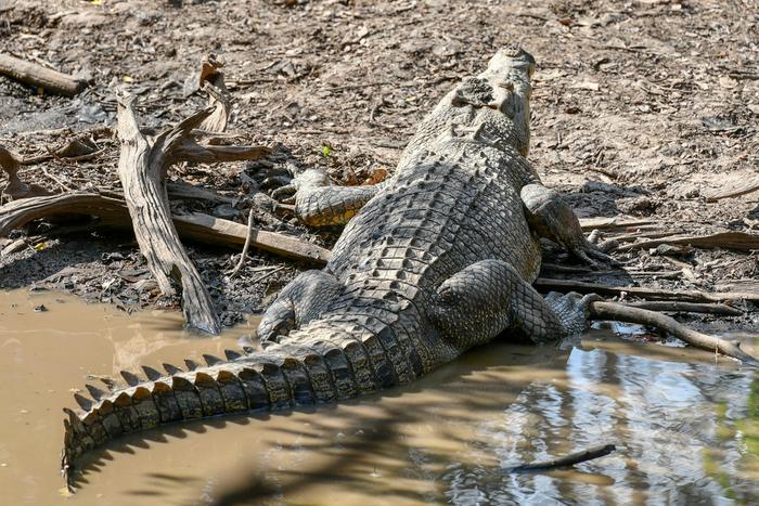 crocodilo marinho