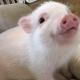 Pig Star, os porcos mais famosos do Instagram!  / Imagem 3