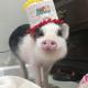 Pig Star, os porcos mais famosos do Instagram!  / Imagem 4