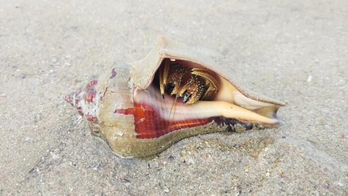 caranguejo eremita
