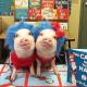 Pig Star, os porcos mais famosos do Instagram!  / Imagem 5