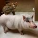 Pig Star, os porcos mais famosos do Instagram!  / Imagem 8